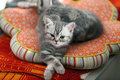 Kitten crossing paws british shorthair in a waiting position Royalty Free Stock Images