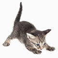 Kitten crouching on white background Royalty Free Stock Images