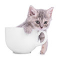 Kitten in cup small striped scottish tabby breed animal a ceramic on white background Stock Photo