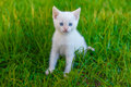 Kitten cute cat with blue eyes, white on green Royalty Free Stock Photo