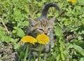 Kitten at dandelion 4