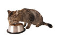 Kitten eating from dish tabby kibble out of a silver on white Stock Photo