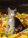 Kitten and Fall Royalty Free Stock Photo