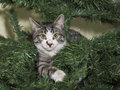 Kitten at a fur tree Royalty Free Stock Images