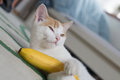 Kitten ginger white holding banana funny close-up playing Royalty Free Stock Photo