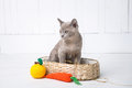 kitten gray breed, the Burmese is sitting in a wicker basket. Next toy crocheted in the form of fruit. White background. Royalty Free Stock Photo