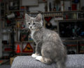 Kitten gray sitting on an armchair british short hair breed Royalty Free Stock Photo