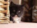Kitten hiding behind basket young black and white domestic a Royalty Free Stock Photos