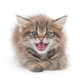 Kitten hissing in front on a white background Stock Image
