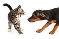 Kitten hissing at puppy a scared small a young beagle mixed breed that is trying to sniff her Stock Photo