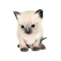 Kitten isolated on white background Royalty Free Stock Photography