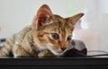 Kitten on lap top a Stock Image
