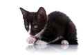The kitten licks a paw. Royalty Free Stock Photo
