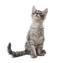 Kitten is looking up isolated on white background Royalty Free Stock Photos