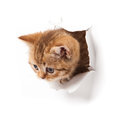 Kitten looking up in paper. Royalty Free Stock Images