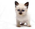 Kitten looks beautiful siamese is looking forward Royalty Free Stock Photos