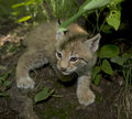 Kitten  of lynx Royalty Free Stock Photos