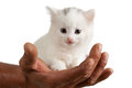 Kitten on a male hand beautiful white isolated white background Royalty Free Stock Photography