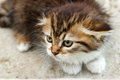 Kitten mine coon cute little look like very scared ready to defend Stock Images