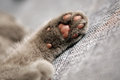 Kitten paw british shorthair breed close up view Stock Image