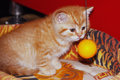 Kitten playing with a ball. Royalty Free Stock Photo