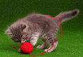 Kitten playing cute baby red clew of thread on artificial green grass Stock Photos