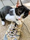 Kitten Playing With An Old Shoe