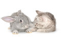 Kitten playing with rabbit grey grey on white background Stock Photography