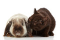 Kitten and rabbit brown on a white backlground Royalty Free Stock Photo