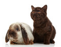 Kitten and rabbit brown on a white backlground Stock Photos