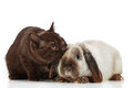 Kitten and rabbit brown on a white backlground Royalty Free Stock Images