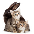 Kitten and rabbit friendship animals pets in studio on white background Stock Photos