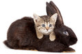 Kitten and rabbit friendship animals pets in studio on white background Royalty Free Stock Photo