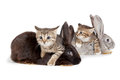 Kitten and rabbit friendship animals pets in studio on white background Royalty Free Stock Images