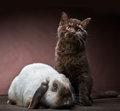 Kitten and rabbit portrait of brown on brown background Stock Images