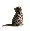 Kitten rear or back view isolated on white Royalty Free Stock Photography