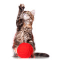 Kitten with red clew cute of thread isolated on white background Royalty Free Stock Photography