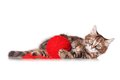 Kitten with red clew of thread cute playing isolated on white background Royalty Free Stock Photo