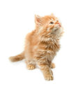 Kitten red, fluffy looks up Royalty Free Stock Images