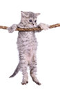 Kitten with rope small striped scottish tabby breed animal hanging on a isolated on white background Stock Images