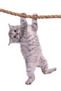 Kitten with rope small striped scottish tabby breed animal hanging on a isolated on white background Royalty Free Stock Images