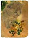Kitten and Roses. Old postcard. Royalty Free Stock Image