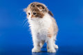 Kitten scottish fold breed on blue Royalty Free Stock Photography