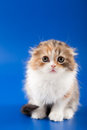 Kitten scottish fold breed on blue Royalty Free Stock Photos