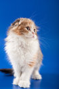 Kitten scottish fold breed on blue Royalty Free Stock Photo
