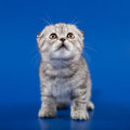 Kitten scottish fold breed on blue Stock Image