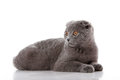 Kitten Scottish lop-eared  on white Stock Photography