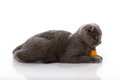Kitten Scottish lop-eared with yellow ball Royalty Free Stock Photos