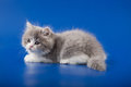 Kitten scottish straight breed on blue Stock Photography