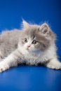 Kitten scottish straight breed on blue Royalty Free Stock Photography